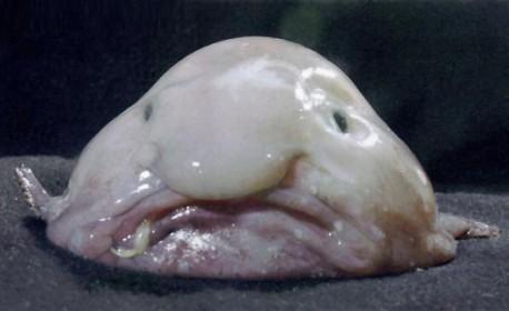 Le blobfish vit au large des côtes australiennes et de Tasmanie
