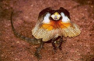 Le fill-necked lizard, ou lézard à collerette