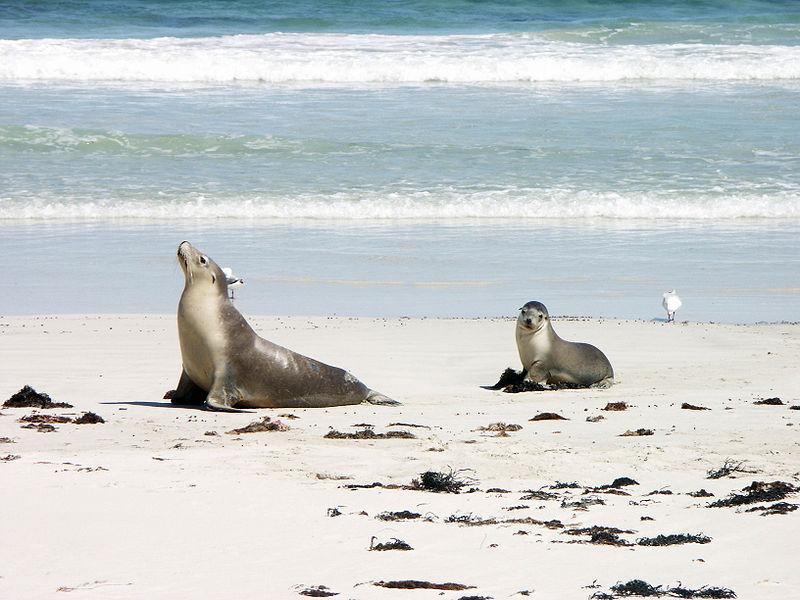 Lion de mer et son petit sur la plage de Seal Bay, Kangaroo Island